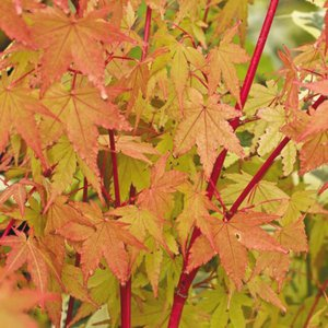 Photo of Acer palmatum 'Sango-kaku'