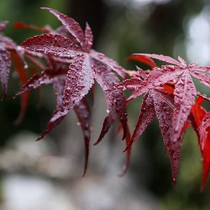Photo of Acer palmatum 'Bloodgood'