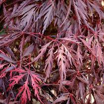 Photo of Acer palmatum 'Garnet'