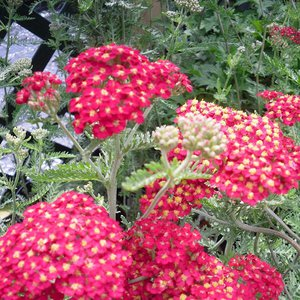 Photo of Achillea millefolium 'Paprika'