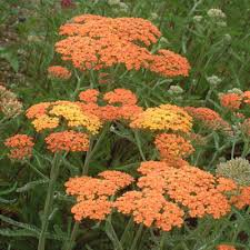 Photo of Achillea millefolium 'Terracotta'