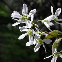 Photo of Amelanchier canadensis