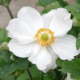 Photo of Anemone x hybrida 'Honorine Jobert'