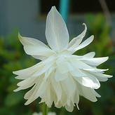 Photo of Aquilegia vulgaris 'White Barlow'
