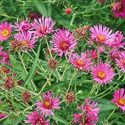 Photo of Aster novae-angliae 'Andenken an Alma Potschke'