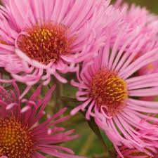 Photo of Aster novii-angliae 'Annabelle de Chazal'