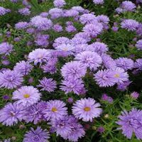 Photo of Aster novii-belgii 'Lady in Blue'