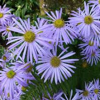 Photo of Aster x frikartii 'Monch'