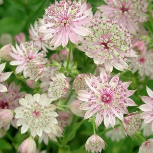 Photo of Astrantia major 'Florence'