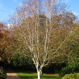 Photo of Betula utilis var. jaquemontii 6/8cm girth