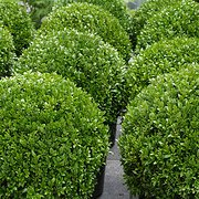 Photo of Buxus sempervirens ball 20cm