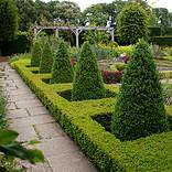 Photo of Buxus sempervirens pyramid 90-100cm