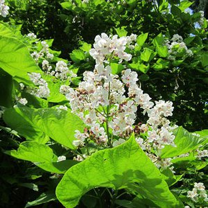 Photo of Catalpa bignonioides multi stem 200-250cm