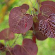 Photo of Cercis canadensis 'Forest Pansy' multi-stemmed