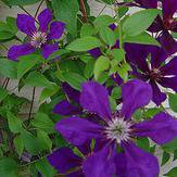Photo of Clematis 'Gipsy Queen'