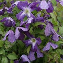 Photo of Clematis viticella 'Little Bas'