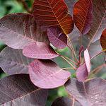 Photo of Cotinus coggygria 'Royal Purple'
