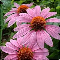 Photo of Echinacea purpurea 'Magnus'