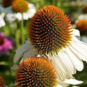 Photo of Echinacea purpurea 'White Swan'