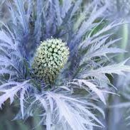 Photo of Eryngium alpinum