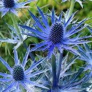 Photo of Eryngium x zabelii 'Big Blue'