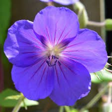 Photo of Geranium 'Orion'