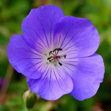 Photo of Geranium 'Rozanne'