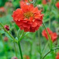 Photo of Geum  'Mrs Bradshaw'