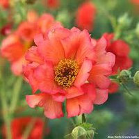 Photo of Geum 'Tempest Scarlet'