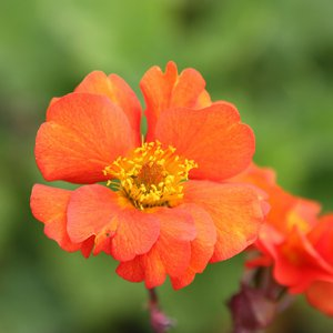 Photo of Geum 'Borisii'