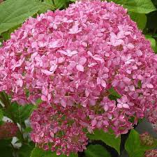 Photo of Hydrangea arborescens ''Pink Annabelle'