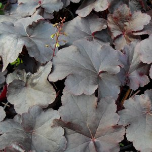Photo of Heuchera 'Obsidian'