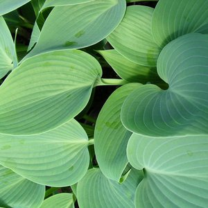 Photo of Hosta 'Halcyon'