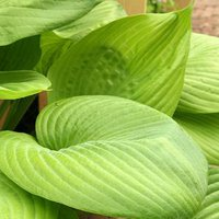 Photo of Hosta 'Sum and Substance'
