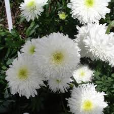 Photo of Leucanthemum x superbum 'Fiona Coghill'