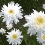 Photo of Leucanthemum superbum 'Wirral Supreme'