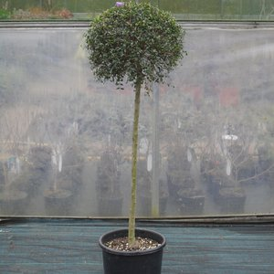Photo of Ligustrum jonandrum standard