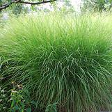 Photo of Miscanthus sinensis 'Gracillimus'