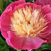 Photo of Paeonia lactiflora 'Bowl of Beauty'