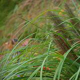 Photo of Pennisetum alopecuroides 'Moudry'