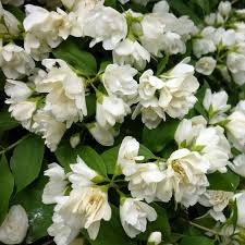 Photo of Philadelphus 'Manteau d'Hermine'