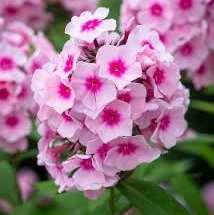 Photo of Phlox paniculata 'Bright Eyes'