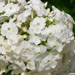Photo of Phlox paniculata 'David'