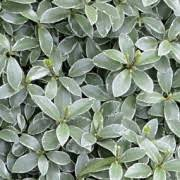 Photo of Pittosporum tenuifolium 'Silver Ball'