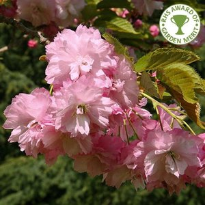 Photo of Prunus ''Pink Perfection'