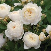 Photo of Rosa 'Claire Austin' - climbing rose