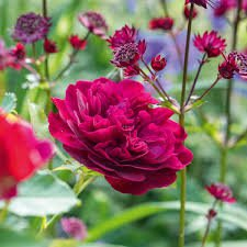 Photo of Rosa 'Darcey Bussell'- shrub rose