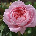 Photo of Rosa 'Queen of Sweden' - shrub rose