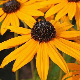 Photo of Rudbeckia fulgida 'Goldsturm'