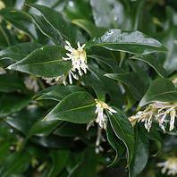 Photo of Sarcococca confusa